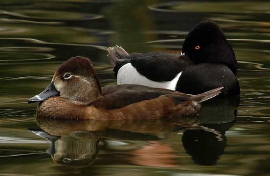 Ringed-neck-Ducks[1].JPG